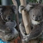 Koalas at Melbourne Zoo